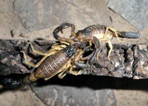 H.jayakari mating