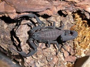 0.1 Centruroides limbatus black