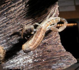 C. altagraciae molting to i4